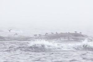 KUVA 7. Merisirriparvi Segelskärin luodoilla
