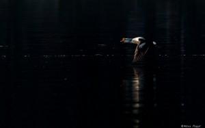 KUVA 8. Harvinainen kyhmyhaahka Prediumin satamassa